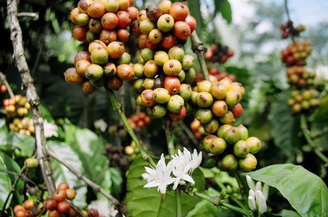 Bảng giá cafe robusta rang xay nguyên chất ở BìnhThuận.